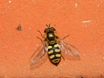 Eupeodes corollae